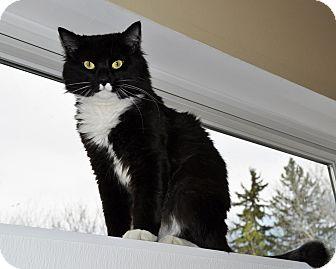 Domestic Mediumhair Cat for adoption in International Falls, Minnesota - Tux aka Tuxedo