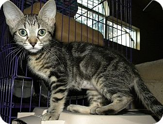 Domestic Shorthair Kitten for adoption in Tampa, Florida - Coral