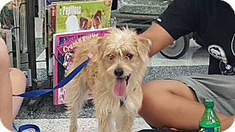 Terrier (Unknown Type, Small)/Poodle (Miniature) Mix Dog for adoption in San Dimas, California - Jack