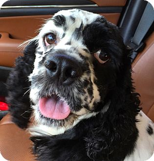 Cocker Spaniel Dog for adoption in Ft Myers Beach, Florida - Party Boy!!