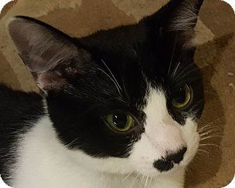 Domestic Shorthair Cat for adoption in Loveland, Colorado - Oreo