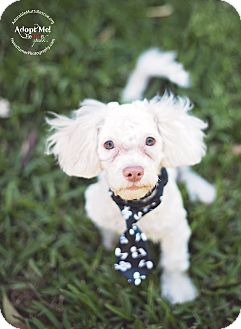 Poodle (Miniature) Mix Puppy for adoption in Seattle, Washington - David - Sweet and soft