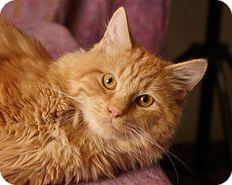 Domestic Longhair Cat for adoption in Harrisonburg, Virginia - Carbuncle Fluffykins