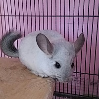 Chinchilla for adoption in Granby, Connecticut - Henry - NH