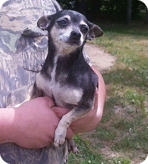 Chihuahua Dog for adoption in Wallingford Area, Connecticut - Jazz