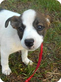 Bearded Collie/Labrador Retriever Mix Puppy for adoption in Allentown, New Jersey - China