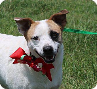 Corgi/Jack Russell Terrier Mix Dog for adoption in Salisbury, Massachusetts - Sarah