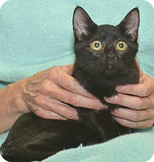 Domestic Shorthair Kitten for adoption in Reston, Virginia - Marsala