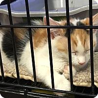 Adopt A Pet :: Sansa - Horsham, PA