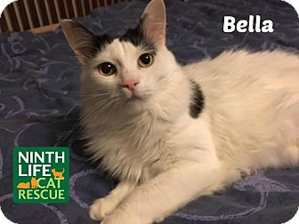 Domestic Mediumhair Cat for adoption in Oakville, Ontario - Bella