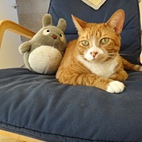 Domestic Shorthair Cat for adoption in Sherman Oaks, California - Stanley