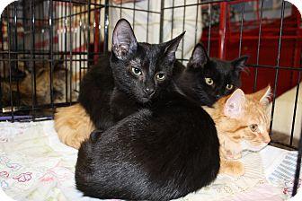 Domestic Shorthair Kitten for adoption in Alamo, California - Ned