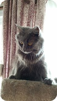 Russian Blue Cat for adoption in Hagerstown, Maryland - Cleopatra