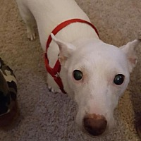 Jack Russell Terrier Dog for adoption in Columbia, Tennessee - Madison/CP