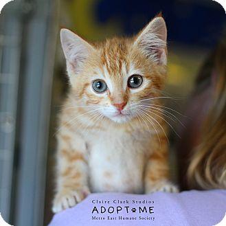 Domestic Shorthair Kitten for adoption in Edwardsville, Illinois - Deadpool