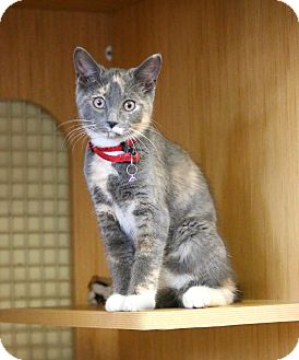 Domestic Shorthair Kitten for adoption in Waterbury, Connecticut - Bonded Pair