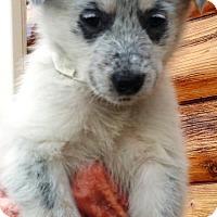 Adopt A Pet :: Elsa - Evergreen, CO