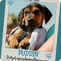 Adopt A Pet :: PUDDIN' - Lincoln, NE