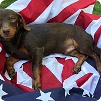 Adopt A Pet :: Gunner - Fort Collins, CO