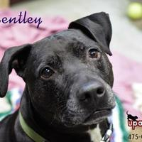 Adopt A Pet :: Bentley - Negaunee, MI