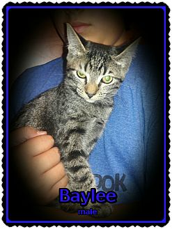 Domestic Shorthair Kitten for adoption in Richmond, California - Baylee