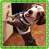 Adopt A Pet :: OREO - Moosup, CT