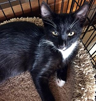Domestic Shorthair Cat for adoption in Santa Fe, New Mexico - Alexie