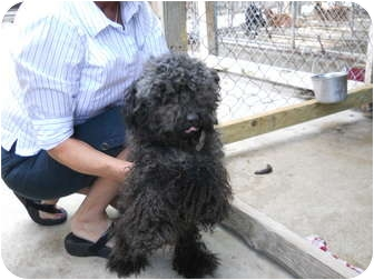 Poodle (Miniature) Dog for adoption in Anderson, Indiana - Duchess