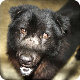 Chow Chow/Shepherd (Unknown Type) Mix Dog for adoption in Sacramento, California - Sotheby
