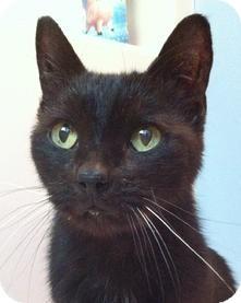 Domestic Shorthair Cat for adoption in Medford, Massachusetts - R.C.
