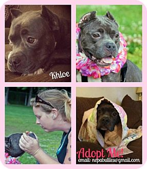 American Pit Bull Terrier Mix Dog for adoption in Hillsborough, New Jersey - Khloe