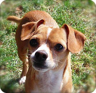 Chihuahua Mix Dog for adoption in El Cajon, California - Benji