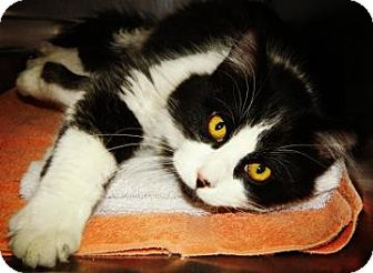 Domestic Mediumhair Cat for adoption in Cheyenne, Wyoming - Donner