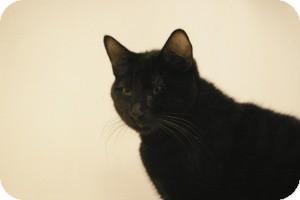 Domestic Shorthair Cat for adoption in Sacramento, California - Donny