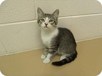 Domestic Shorthair Kitten for adoption in Gadsden, Alabama - Einstein