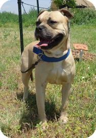 Pit Bull Terrier Mix Dog for adoption in Larned, Kansas - Roscoe