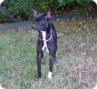 Italian Greyhound/Chihuahua Mix Dog for adoption in North Little Rock, Arkansas - Gisele