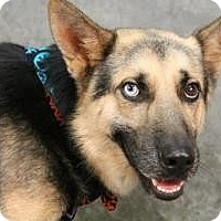 Adopt A Pet :: Smiling baby Harvey - Baltimore, MD