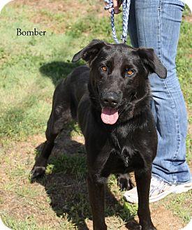 Labrador Retriever/German Shepherd Dog Mix Dog for adoption in Hibbing, Minnesota - Bomber