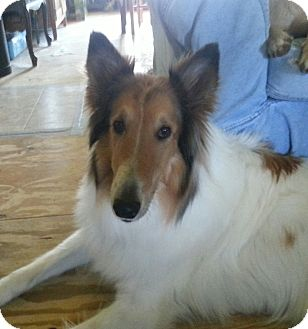 Collie Dog for adoption in Elsberry, Missouri - Skippy