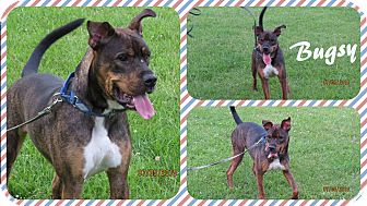 Rottweiler/Boxer Mix Puppy for adoption in DOVER, Ohio - Bugsy