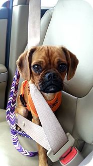 Pug/Beagle Mix Puppy for adoption in Hanover, Ontario - Phoebe