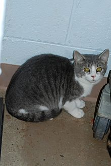 American Shorthair Cat for adoption in Salem, West Virginia - Thumper