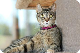 Domestic Shorthair Cat for adoption in Coronado, California - Cougar
