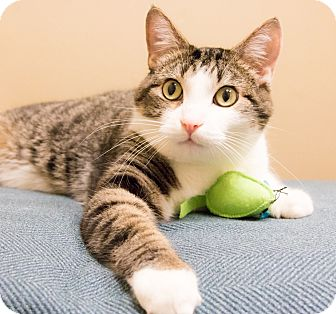 Domestic Shorthair Cat for adoption in Chicago, Illinois - Mick