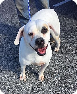 American Bulldog Mix Dog for adoption in Lakeland, Florida - Lola