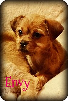 Schnauzer (Miniature)/Shih Tzu Mix Puppy for adoption in Phoenix, Arizona - ENVY