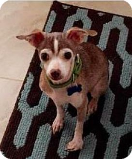Chihuahua Dog for adoption in Mission, Kansas - Edmund Cartwright
