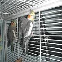 Adopt A Pet :: Alvin Choo Choo Jazzy Malibu - Neenah, WI