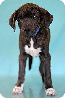 Hound (Unknown Type) Mix Puppy for adoption in Waldorf, Maryland - Echo